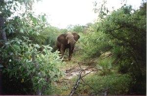 zambezi-elephant-zimbabwe